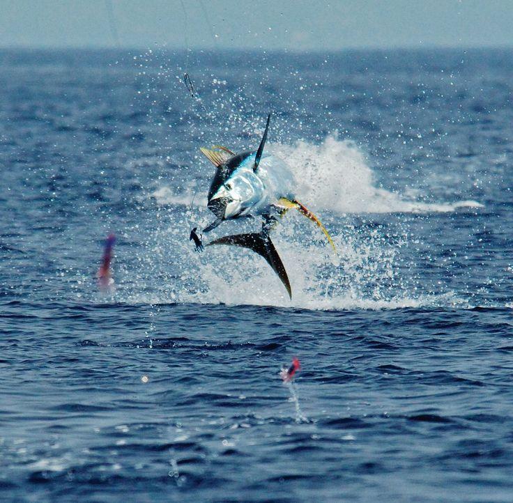 Yellowfin tuna jumping for Tuna fishing games