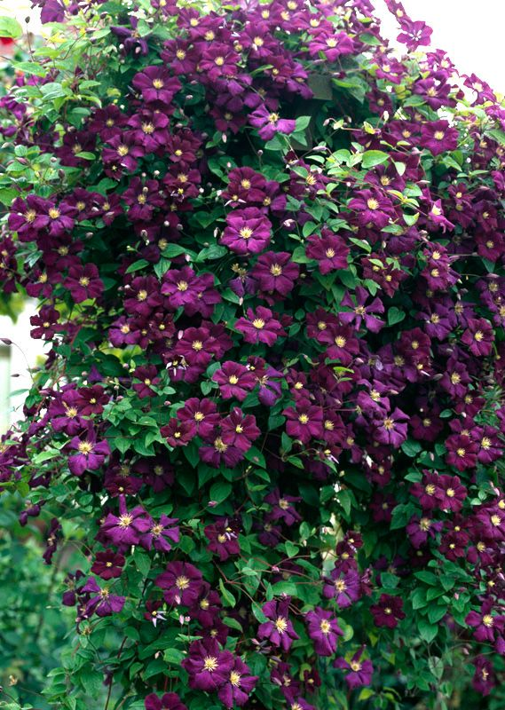 clematis etoile violette yard landscape pinterest. Black Bedroom Furniture Sets. Home Design Ideas