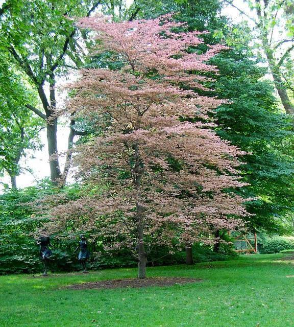 Tricolor beech tree fagus sylvatica roseo marginata