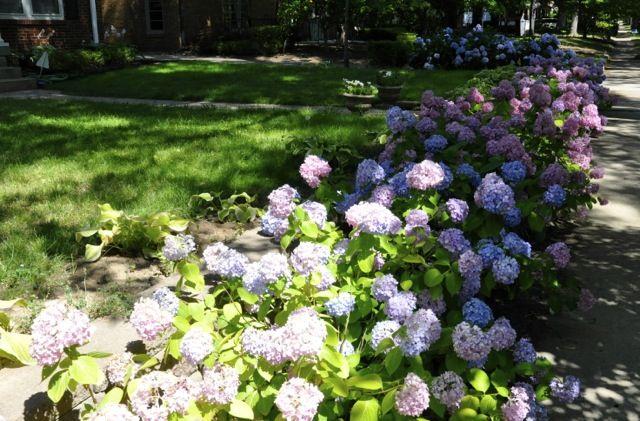 Hydrangea beds landscaping ideas patio ideas pinterest for Garden designs with hydrangeas