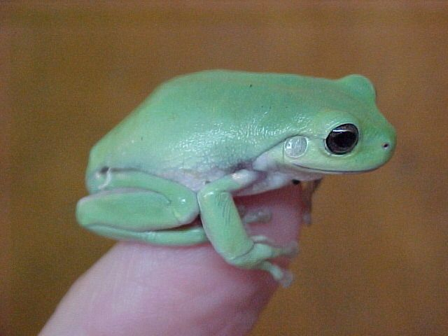Baby dumpy tree frog - photo#1