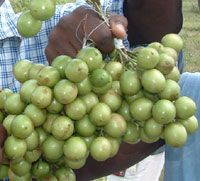 Guinep - A small, grape-like fruit with a green skin and a large seed surrounded by a thin layer of sweet, fleshy pulp.        Read more: http://www.jamaicans.com/cooking/foods/fruitglossary.shtml#ixzz2LAoBRmkH