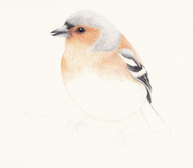 Chaffinch bird wip - wetcanvas