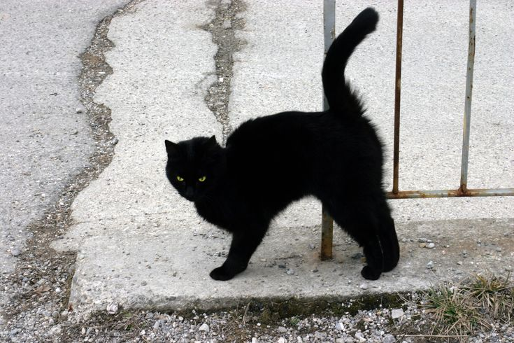 """If a black cat crosses your path it signifies that it is going somewhere."""