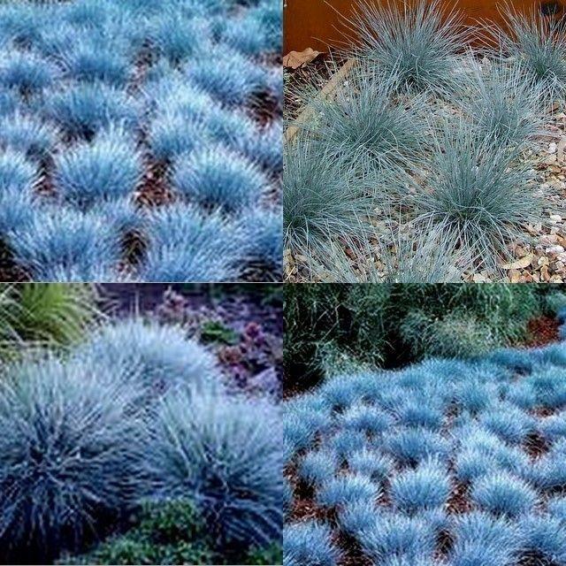 10 blue fescue grass dwarf festuca glauca garden plants for Hardy grasses for the garden