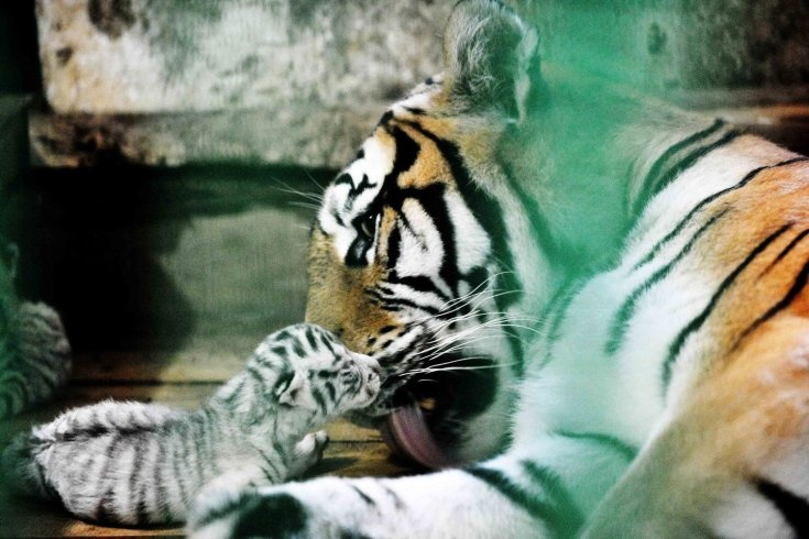 A female Siberian tiger licks a baby Bengali white tiger in the Heilongjiang Siberian Tiger Garden in northeast China's Heilongjiang Province, July 4, 2011. Five baby Bengali white tigers were born on July 1 in the Heilongjiang Siberian Tiger Garden, the world's biggest Siberian tiger garden, which is the first time in the history of the garden. The Siberian tiger is now suckling the five baby tigers for the mother Bengali white tiger is lack of latex.    Read more: http://lightbox.time.com/201...