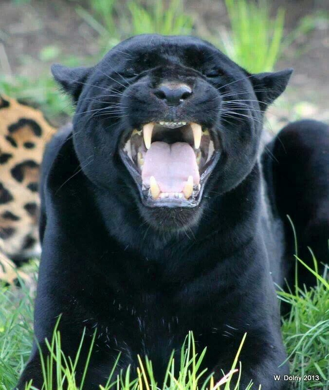 Roaring Jaguar Animals Pinterest