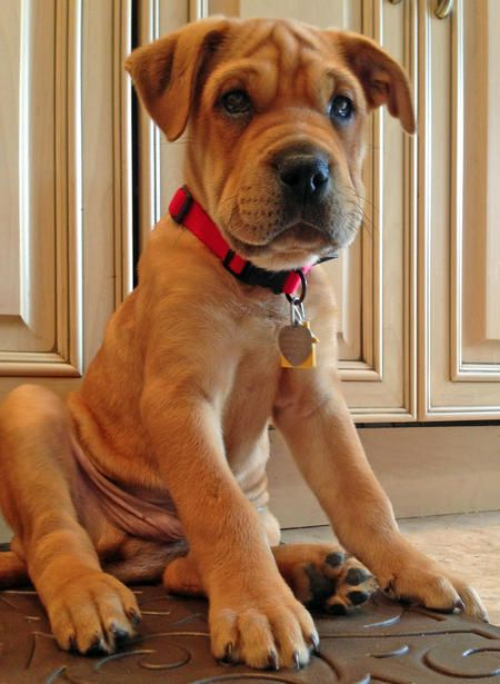 Charlie the Shar Pei Mix-Great rescue story and handsome puppy!