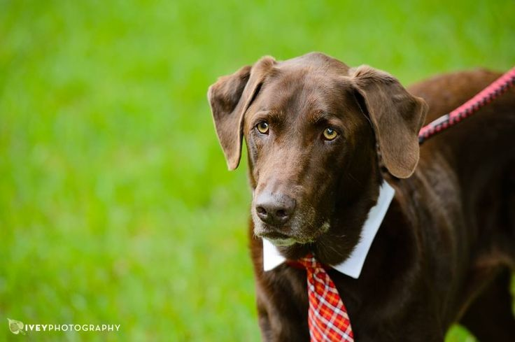 """Best Dog"""" at a recent outdoor wedding. Chocolate lab dressed in a tie ...: pinterest.com/pin/53621051788575843"""