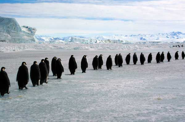 Quite literally, March of The Penguins!  www.penguins-world.com