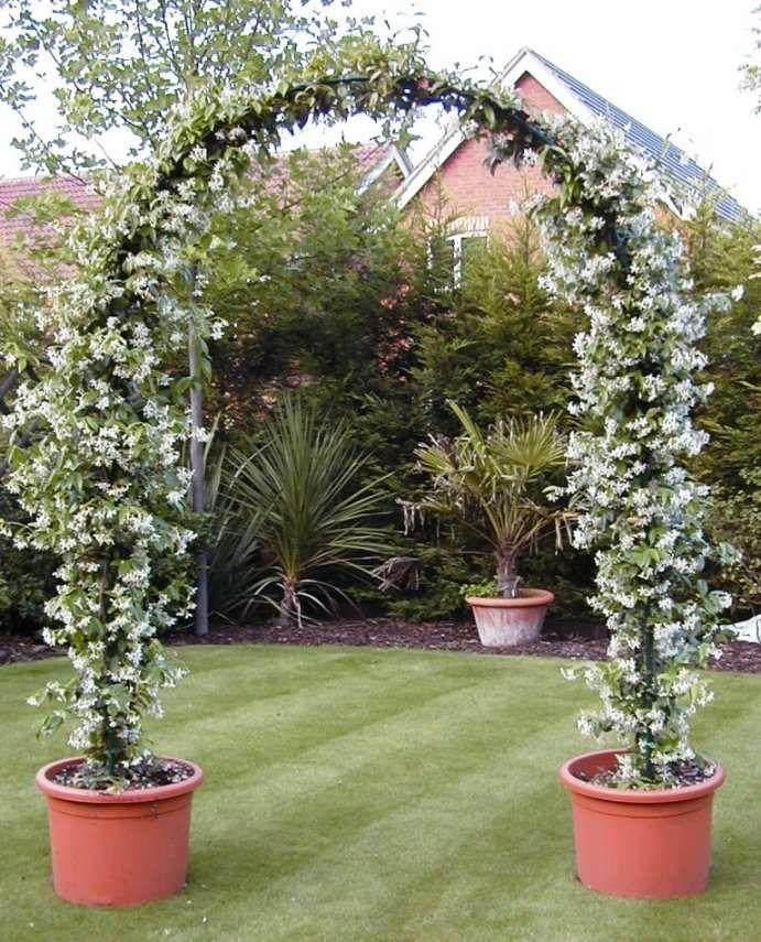Climber jasmine vine arch garden pinterest - Garden arch climbing plants ...