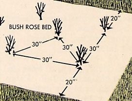 roses planting instructions - spacing