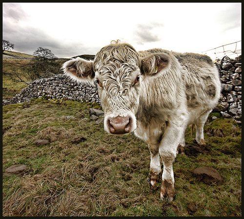 moo cow!!