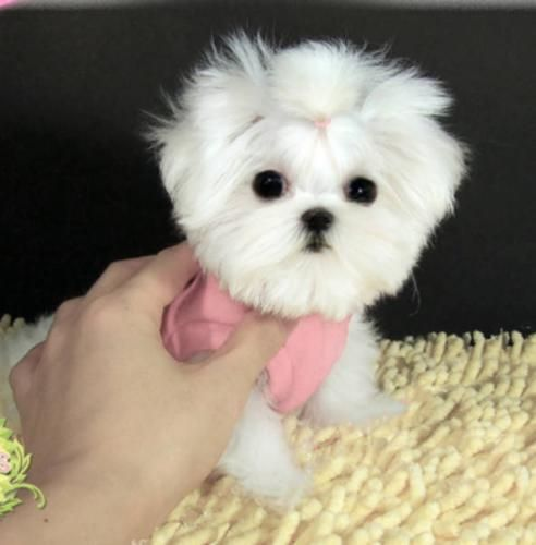 Full Grown Micro Teacup Maltese Pictures to Pin on ...