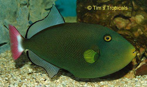 Pink tail triggerfish salt water fish identification for Pink saltwater fish