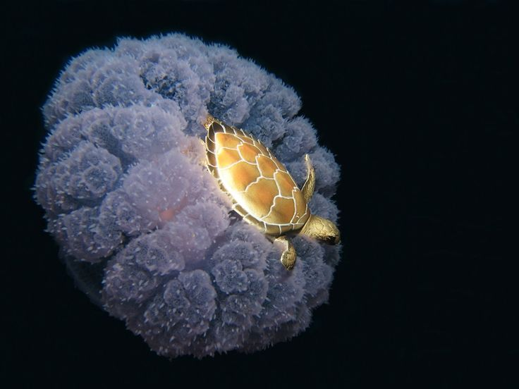 Turtle riding on a jellyfish