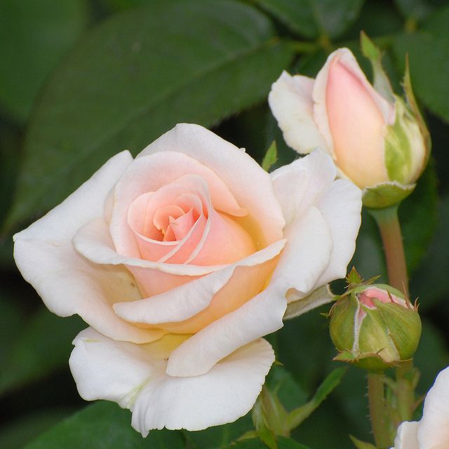 Peach roses favorite color for Roses to colour in