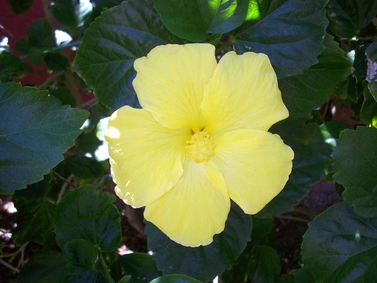 yellow hibiscus plant - photo #19