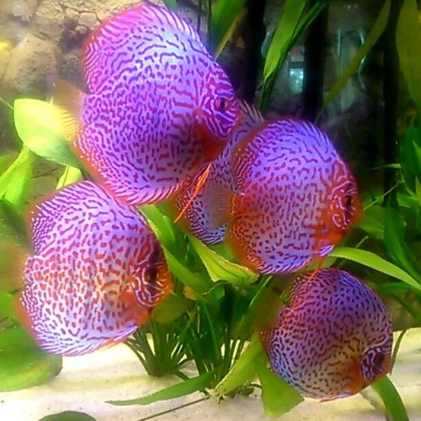 Video discus fish by chrissi1286 Aqua pets Pinterest