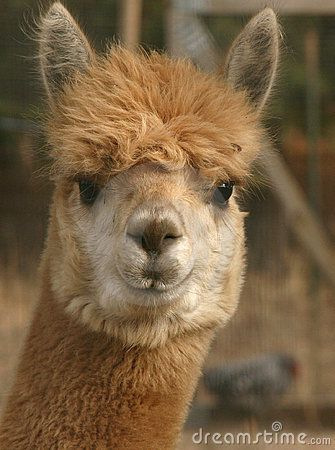 Alpaca Face A head-on alpac...