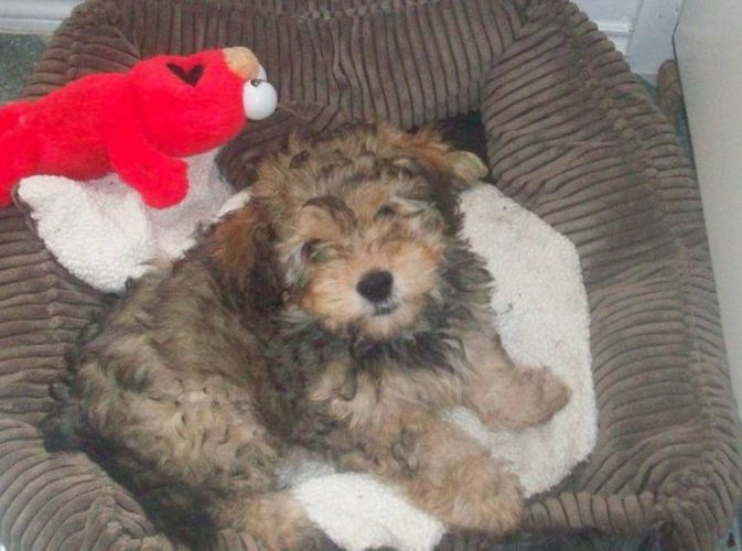 Bichon yorkie mix. So cute! | Like some droopy eyed pup. | Pinterest