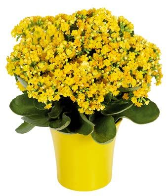 yellow kalanchoe plant flores pinterest. Black Bedroom Furniture Sets. Home Design Ideas