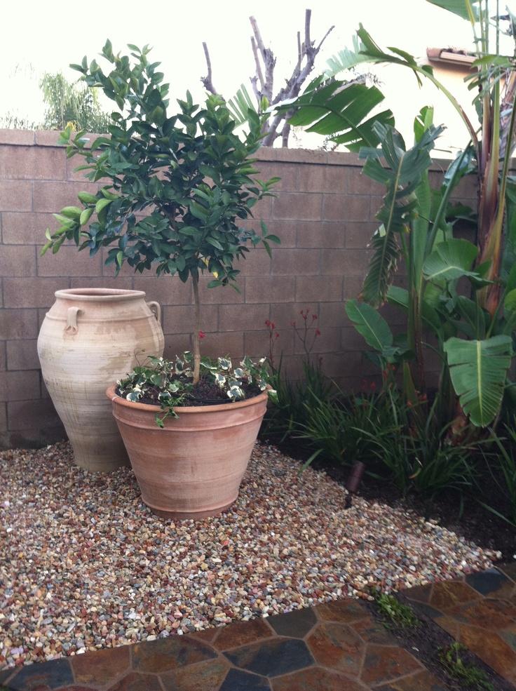 spanish yard fruit tree in pot trees in pots pinterest