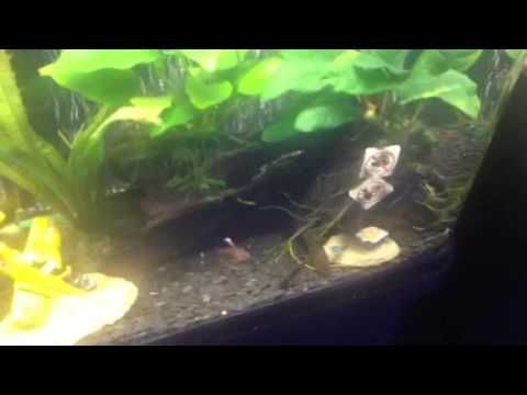 What fish can you mix with goldfish fresh water fish for Can tropical fish live with goldfish