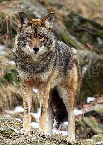 Coyote. | North American Wild Animals We've Seen | Pinterest