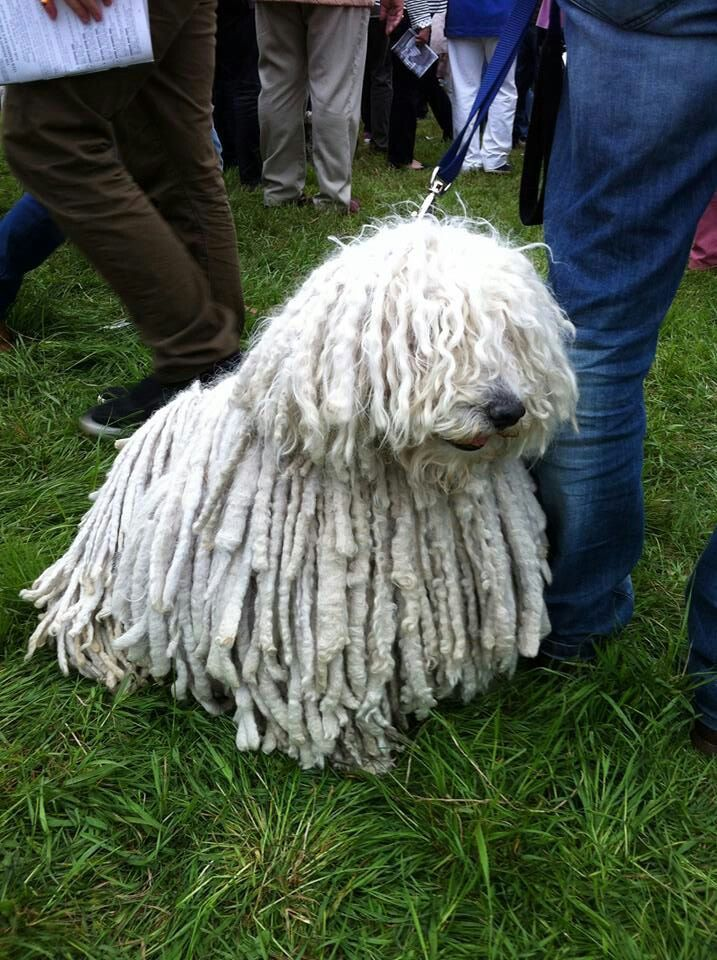 Dog That Looks Like A Mop The Name