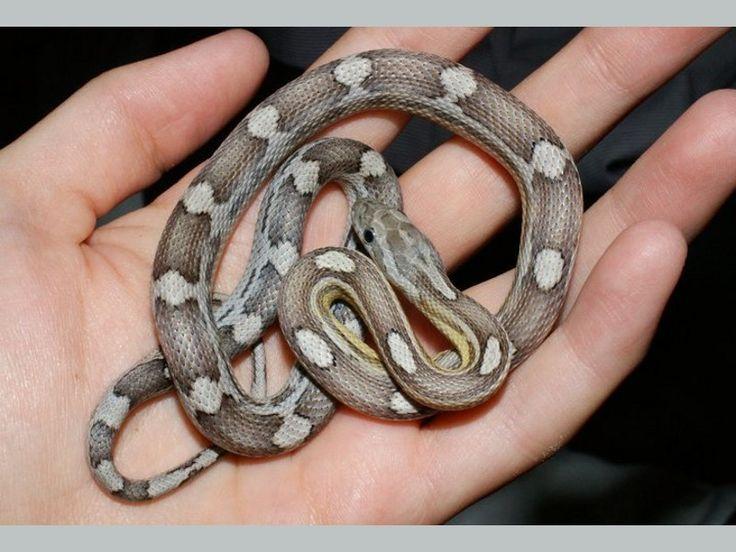 corn snake morphs - Google Search | snake patterns ...
