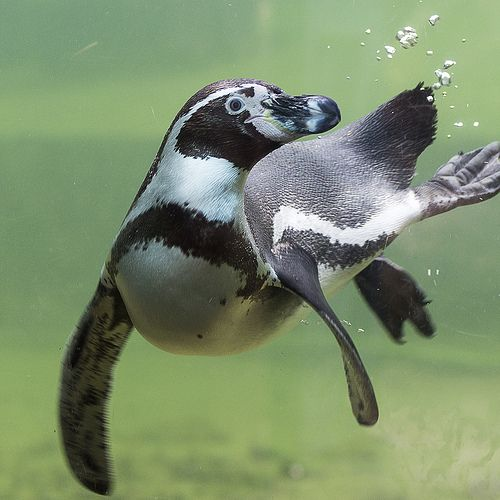 Humboldt Penguin | Penguins--Humboldt | Pinterest