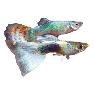 Fancy guppy live fish petsmart fish heads fish for Petsmart live fish