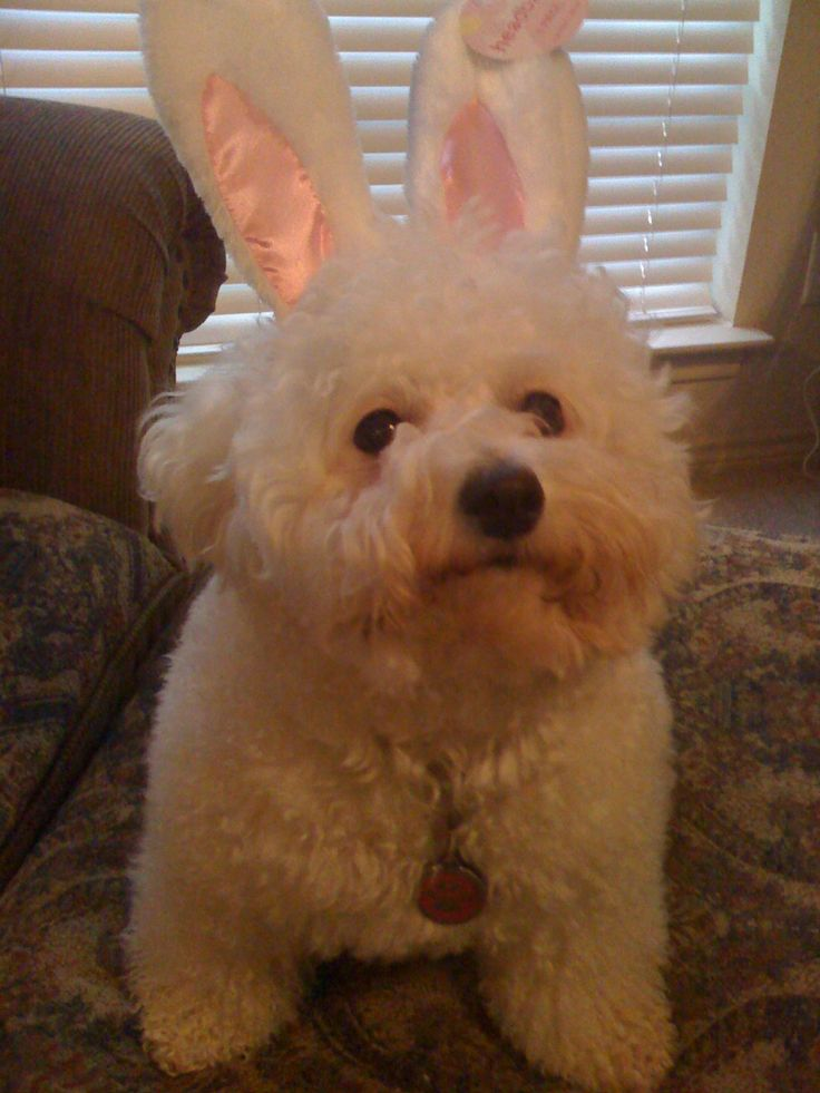 Happy Easter to all Bichon Frise Dogs!!