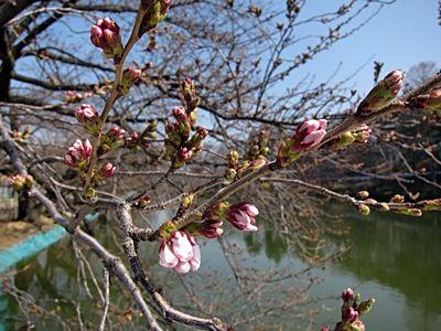 臥竜公園・桜開花状況 4/5 臥竜公園・桜開花状況 4/5 | Sakura in Suzaka
