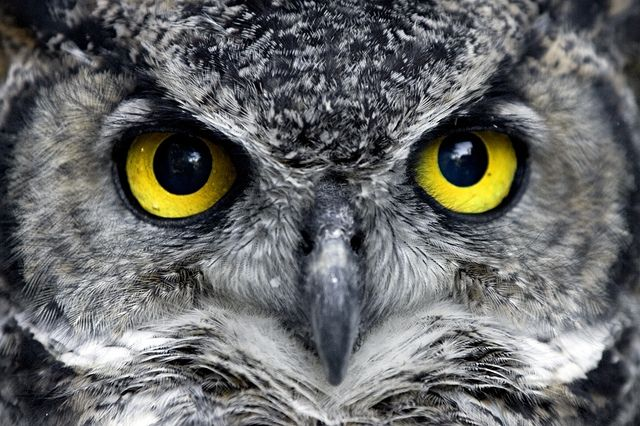 great horned owl eyesight