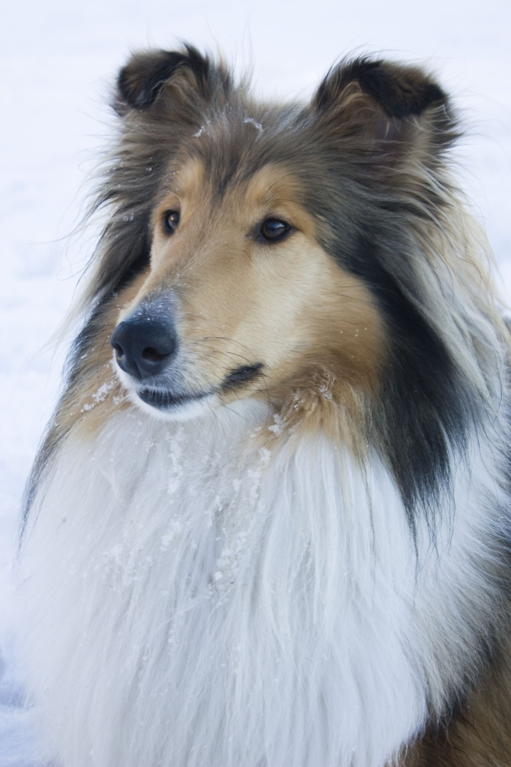 The World 39 S Most Beautiful Dog Lassie Handsome Faces