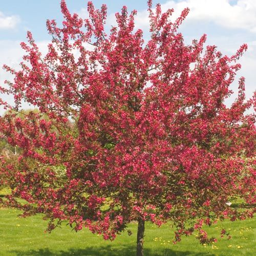 hindu singles in plumtree Plums are a good choice for beginner gardeners who want to grow fruit trees, as plum trees are widely adapted, more compact, and require less care than most other fruit trees.