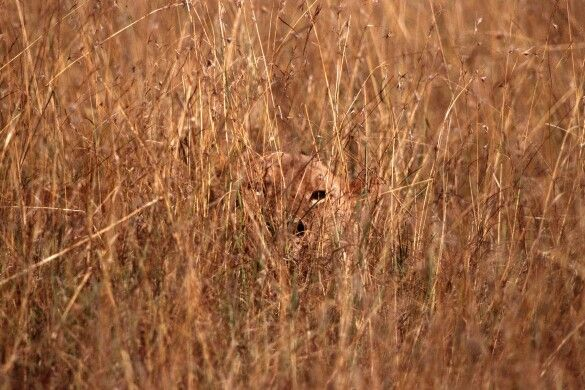 camouflage lions pinterest
