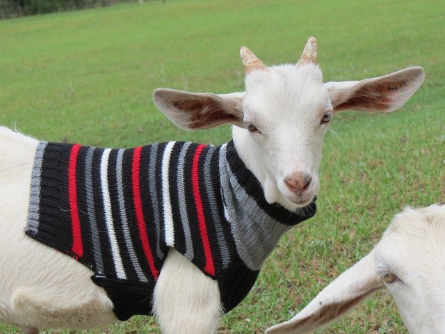 spot the cutest goat in a sweater