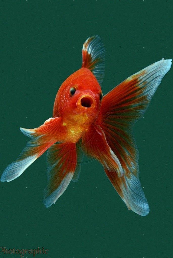 Goldfish gold fish pinterest for Goldfisch und koi