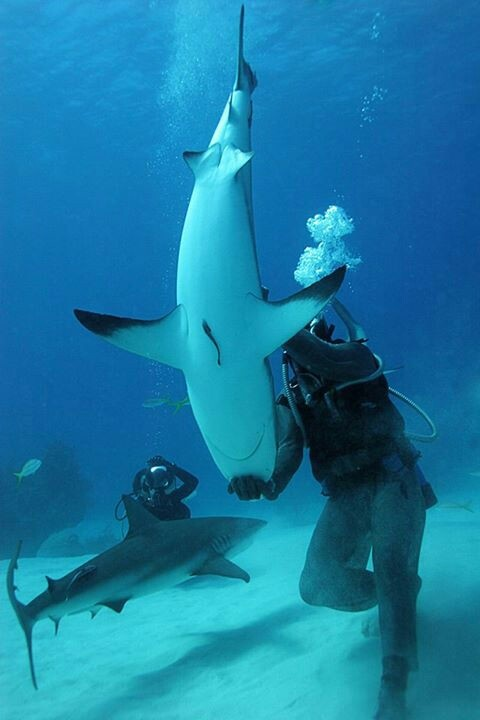 tonic immobility in sharks Apparent death jump to:  tonic immobility is a natural state of paralysis that animals  some sharks can be placed in a tonic immobility state by turning them.