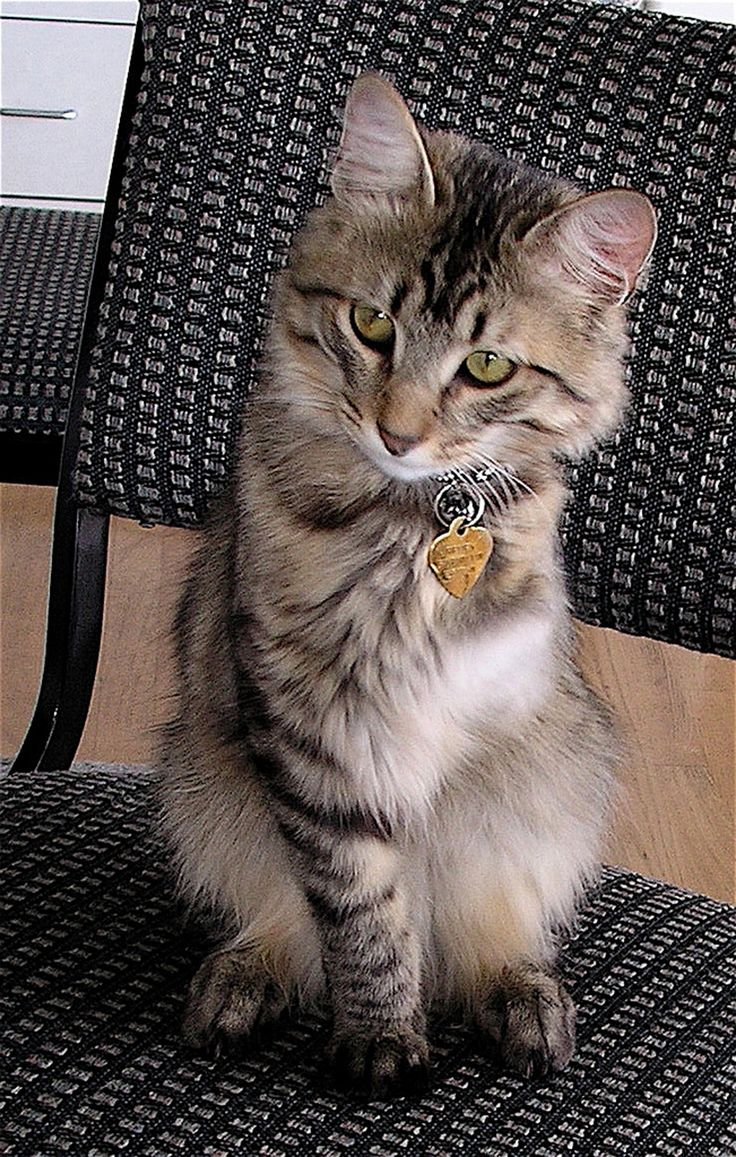 untreated hyperthyroidism in cats