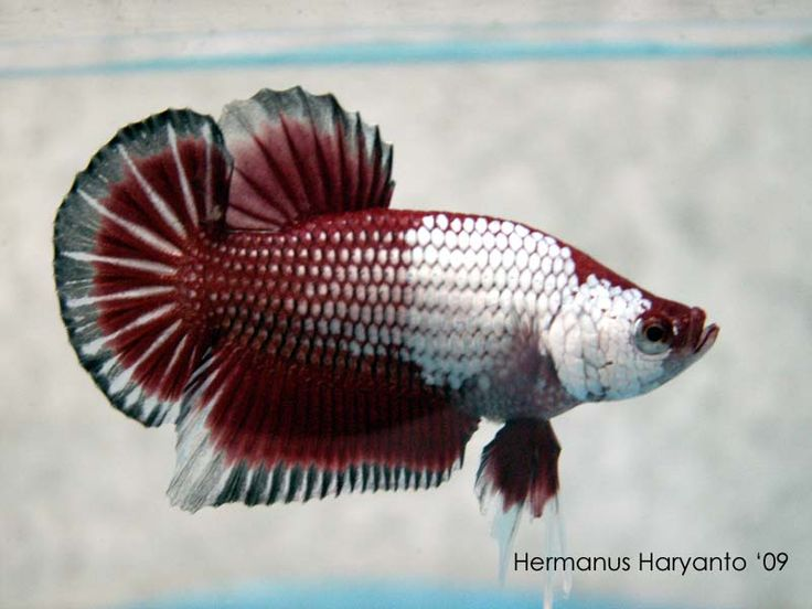 Plakat (Betta) Aquatic Pinterest