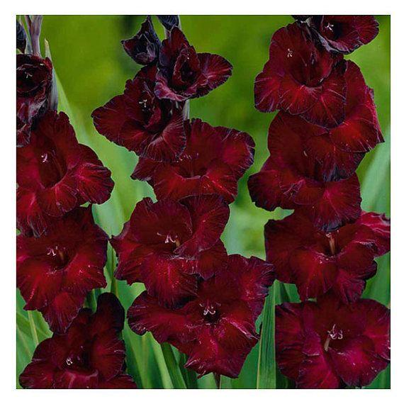 10 Pansy Black Beauty: Gladiolus Bulbs Black Beauty 10 Gladioli Corms Black