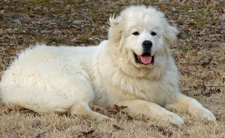 PRYNESS DOG PHOTO | Maximus the Great Pyrenees | Dogs | Daily Puppy