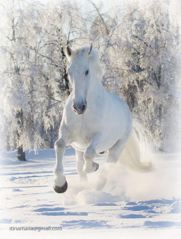 White horses running in snow