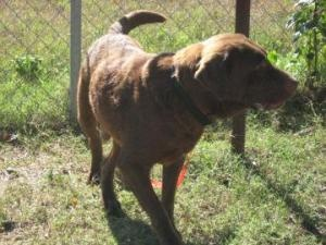 Mikey is an adoptable Chocolate Labrador Retriever Dog in Bartlesville, OK.   Looking for a loving home! Mikey is a great big lovable lug.  Mikey's adoption fee is $65. Please contact us ( ... ...