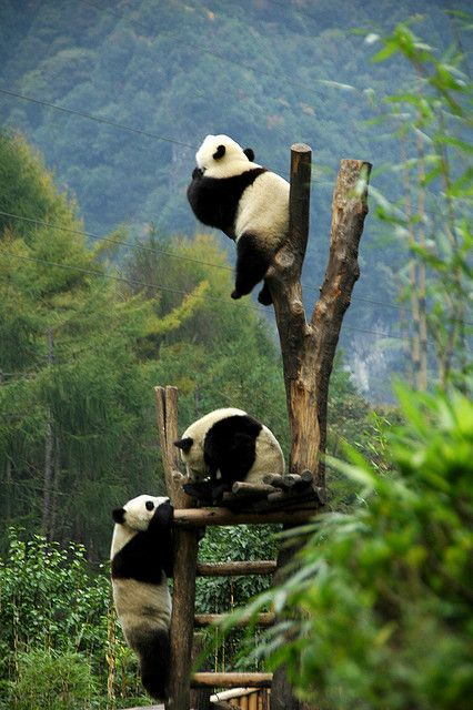Pandas...because pretty much every pic of pandas just being pandas makes you smile