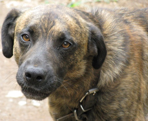 ... by fanny morton on Blackmouth cur, Mountain cur(United States
